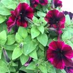 Благоустройство озеление ландшафтный дизайн поставка цветов ампельная петуния Москва 2017 107