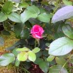 озеленение поставка растений кусты роз для дачного озеленения РостАрт 014